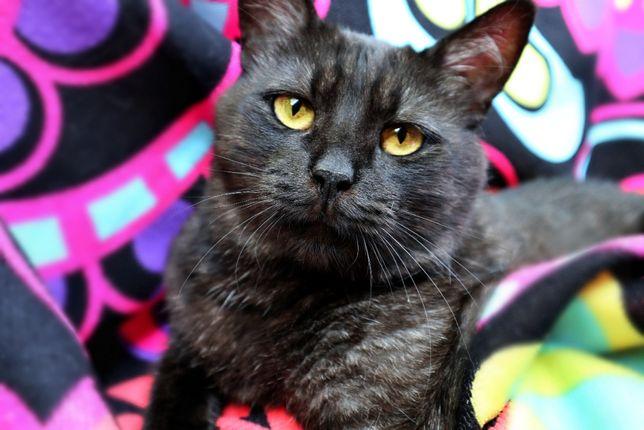 Кошка окраса чернобурки ищет дом
