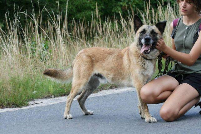 Kevin- pies w typie owczarka belgijskiego malinosa do adopcji