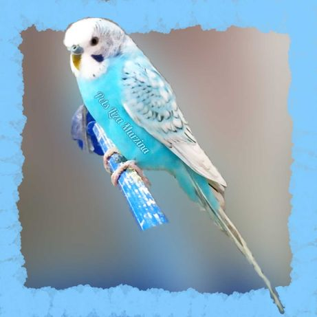 Дорослий папуга блакитний спенгл