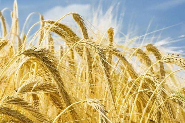 Семена 1й репродукции Канадских Ячменя Пшеницы Сои насiнн