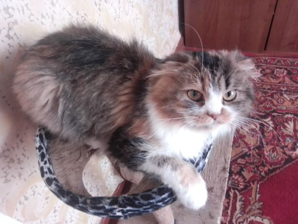 Продам взрослую кошку Шотланка Хайленд Фолд