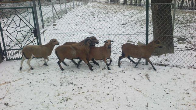 mam w sprzedaży owce kameruńskie