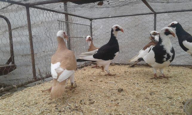 Bagdeta norymberska ptaki gołębie ozdobne