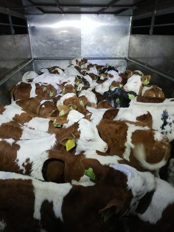 Byczki mięsne sprzedam