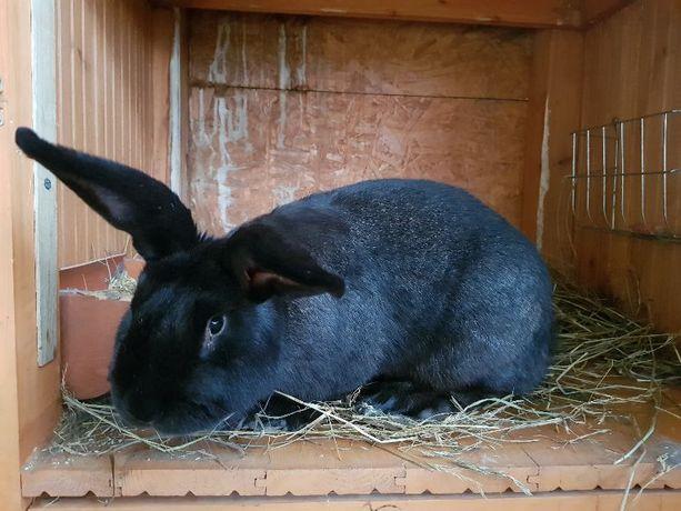 króliki belgi olbrzymy