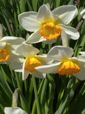 цветы садовые - нарциссы,тюльпаны белые.мускари,гиацинты.