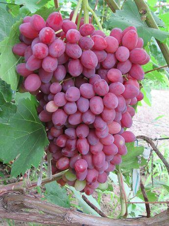 Черенки (лоза) винограда [Более 130 сортов]