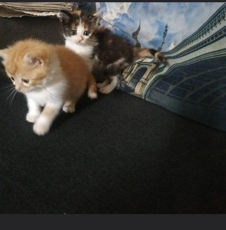 Котята рыжие трехмастные