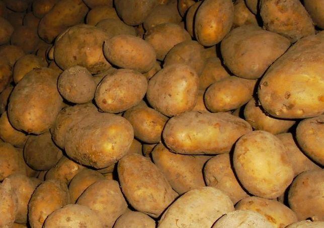 Ziemniaki jadalne denar, bellarosa i tajfun