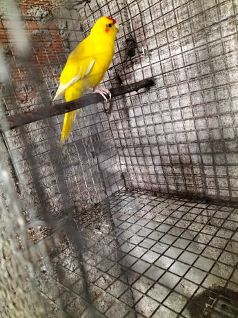 Vendo kakariki macho pronto a criar..ave de 2019
