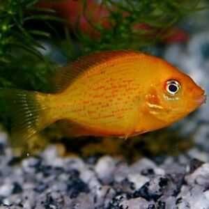 Żółtaczek indyjski3,5-4cm