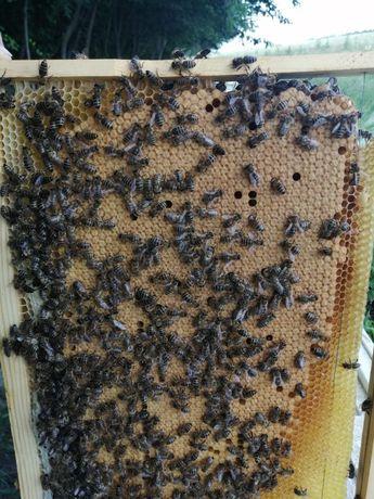 Бджоло матки Карніка F1, плідні та не плідні.
