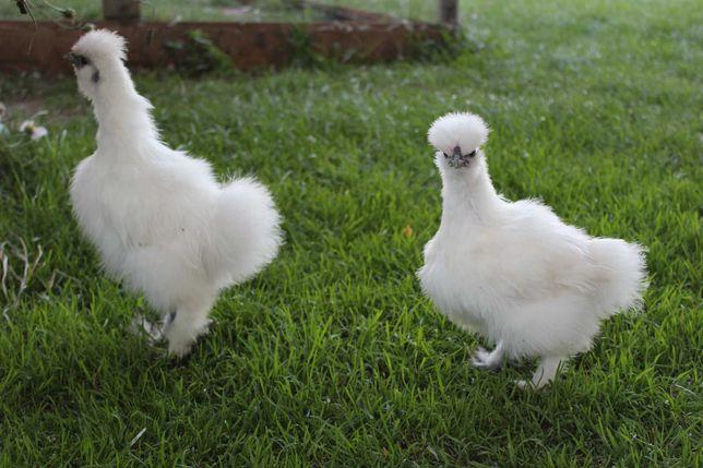 Silki, silka, kura jedwabista, biała para, kurczaki!