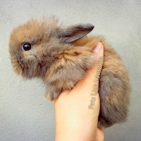 Соболева ангорська кроличка
