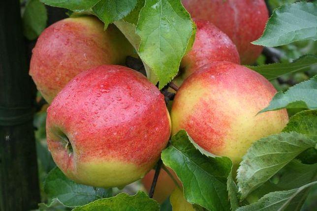 Sprzedam jabłka z K.A z freshem GOLDEN NAJDARED IDARED