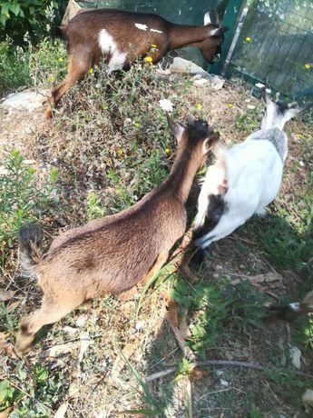 Casal Cabras anãs para venda