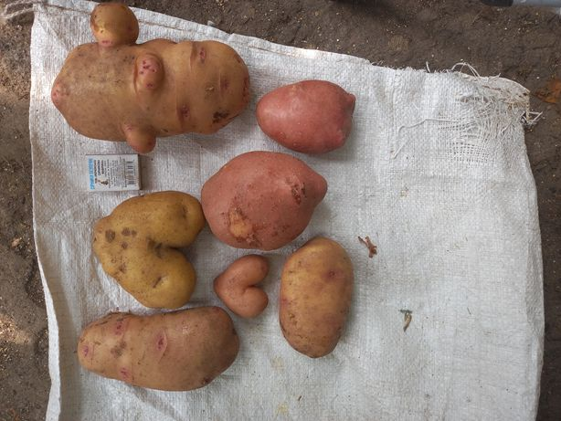 """Продам """"ексклюзивну"""" картоплю"""