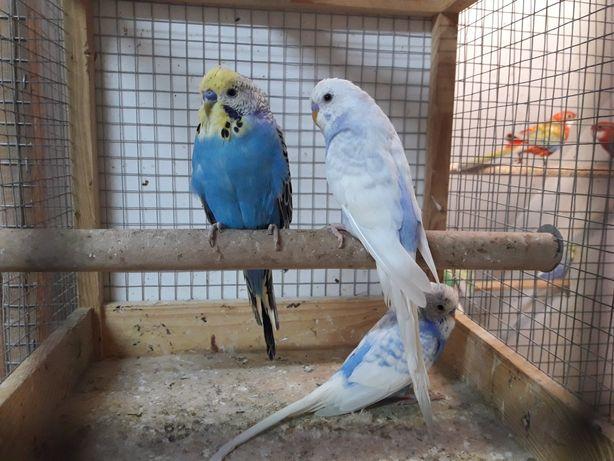 Papużki faliste - 3 samce