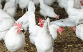 Інкубаційне яйце Ломан Вайт і Ломан Браун