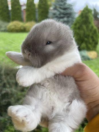 Кролик ексклюзив !!! Міні Лоп , кролик Тедді з сатиновою шерстю