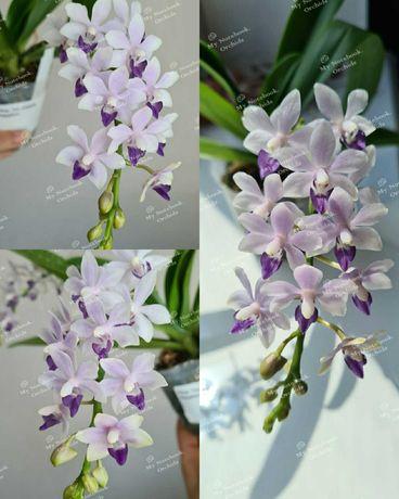 Орхидея фаленопсис Phal. Tzu Chiang Sapphire