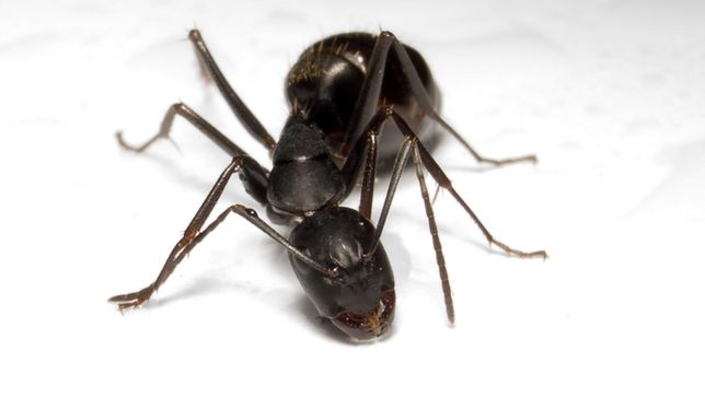 Camponotus japonicus Kolonia Mrówek do Hodowli w Formikarium