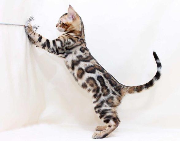 Бенгальский котик- очень ласковый мальчик
