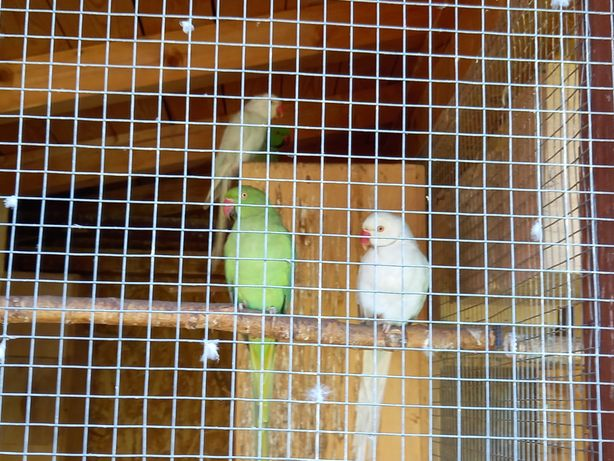 Papugi aleksandretty obrozne