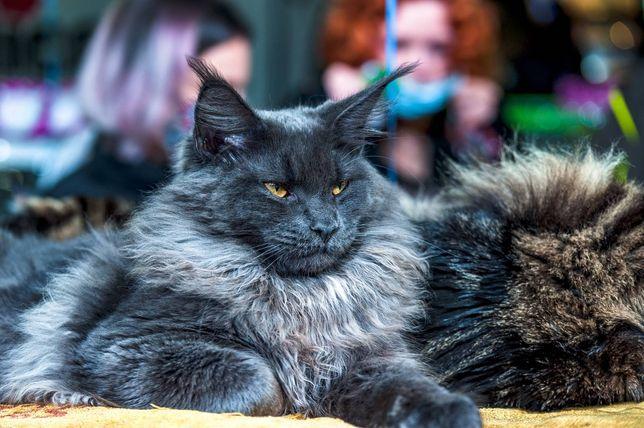 Шикарный голубой котенок Мей-кун от ЧЕМПИОНА МИРА WCF