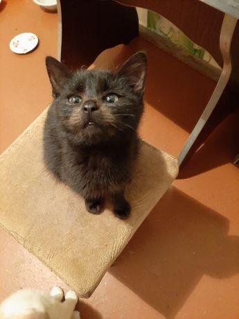 Котенок, девочка, 2.5 месяца, черная