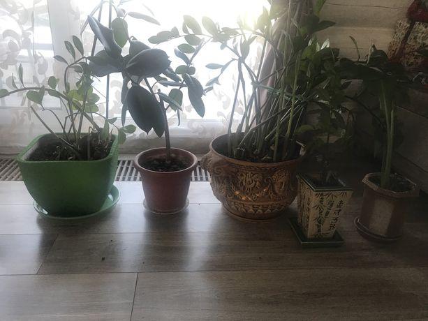 Домашние растения заммиокулькас, фикус и пр одним лотом