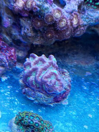 Platygyra spp. Akwarium morskie