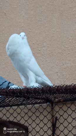 Garlacze golebie
