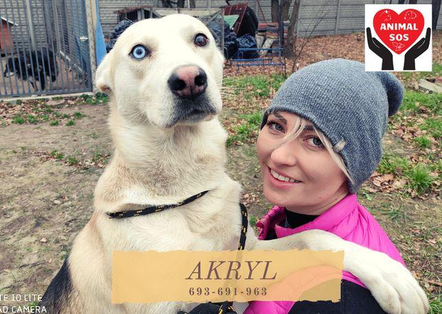 AKRYL - śliczny pies w typie husky szuka domu