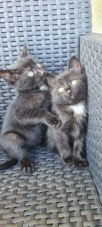Czarne kotki oddam w dobre ręce