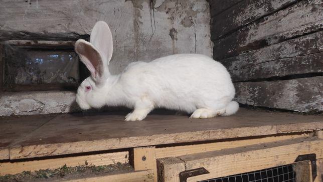 Продам Кролика дівчинка.