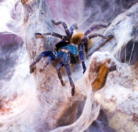 Пауки Птицееды Скорпионы экзотические животные Spiders House новичкам