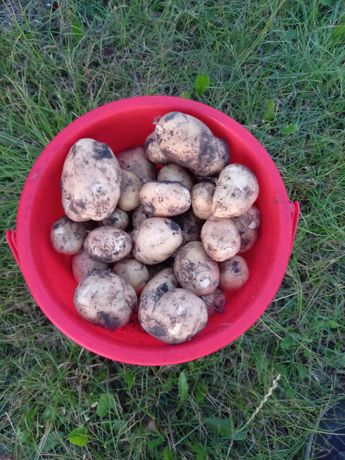 Sprzedam ziemniaki młode denar