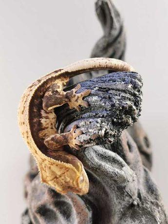 SAMICA Correlophus ciliatus Gekon orzęsiony H41