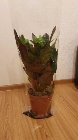 """Продам вазон """"кротон"""", кімнатна рослина, декор, декоративна рослина."""