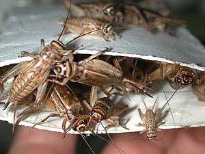 Кормовые насекомые. Сверчок Домовый и Банановый, сверчки