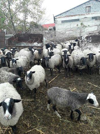 Продам овцы романовские породы