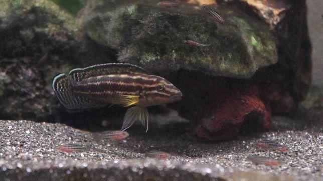 Julidochromis regani Kaseke