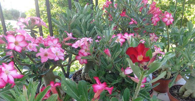 Rosas do deserto - mudas com 8 a 14 meses
