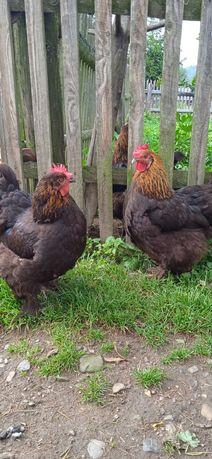 Великі кури Брами чорна палева та куріпчаста інкубаційні яйця величних