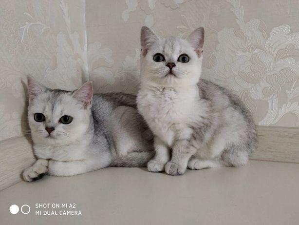 Шотландские прямоухие котята серебристые шиншиллы