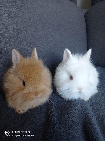 Kroliki miniaturki lewki