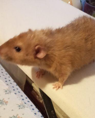 Крыса Персик. Бесплатно