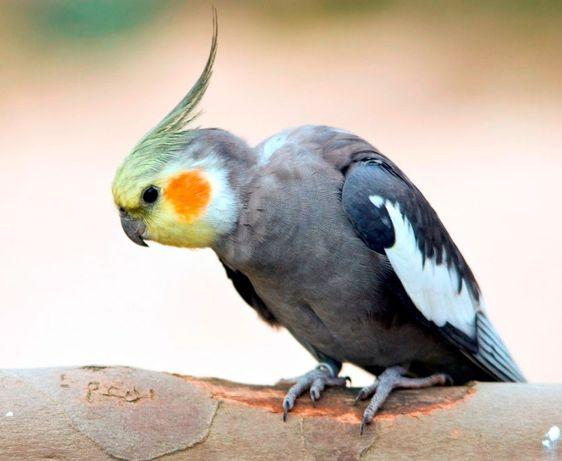 СРОЧНО , Продам попугая .