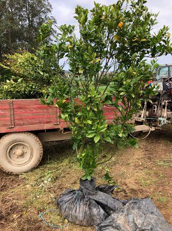 Laranjeiras com 5 anos a dar fruto